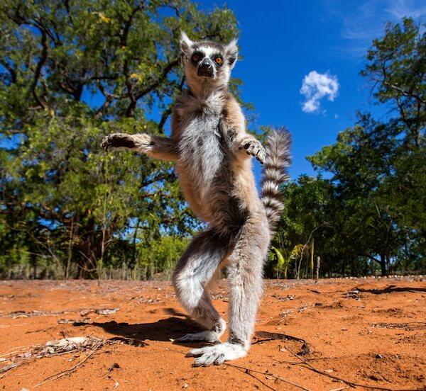 Dancing maki lemur