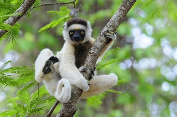 White sifaka lemur on tree in Madagascar