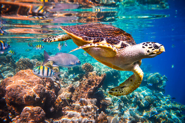 Turtle in clear Maldives waters