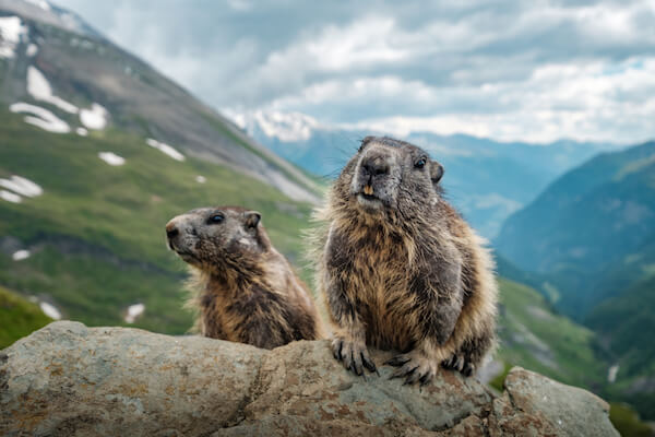 Marmots - image by Christopher Anderson/shutterstock.com