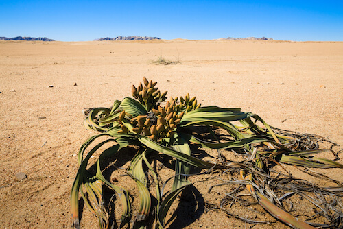 Welwitschia plant in Namibia - image by shutterstock.com