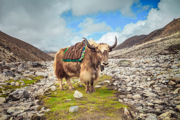Yak in Nepal at Everest Base Camp