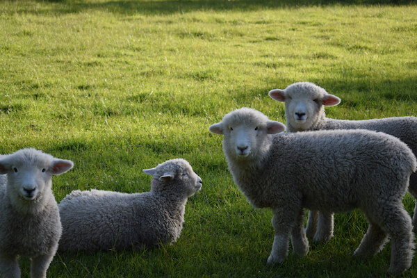 Romney sheep in New Zealand