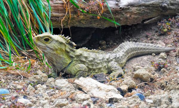 Tuatara reptile in New Zealand