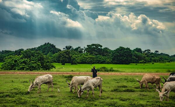Cattle in Nigeria - image by Alucardion/shutterstock.com