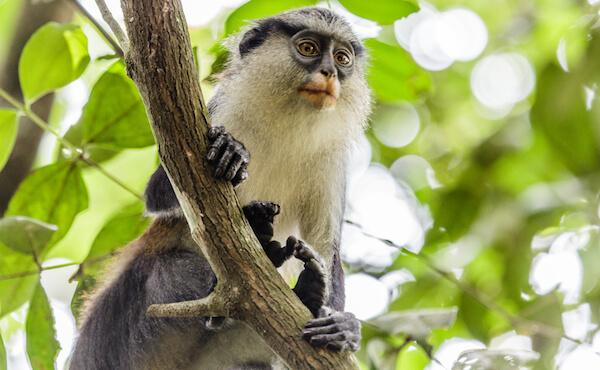 Monkey in Nigeria
