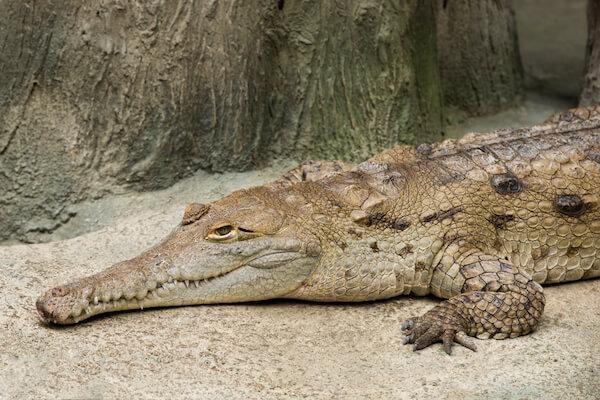 Orinoco river crocodile