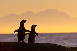 penguins at sunset in Cape Town