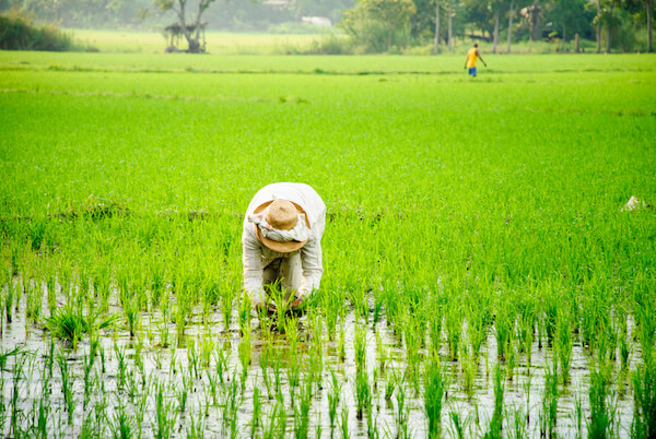 Working on a rice field in the Philippines