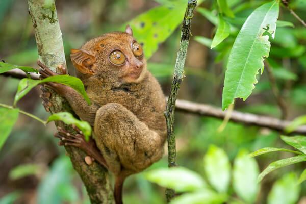 Tarsier in tree in the Philippines