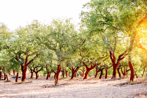 Cork oak tree plantation in Portugal