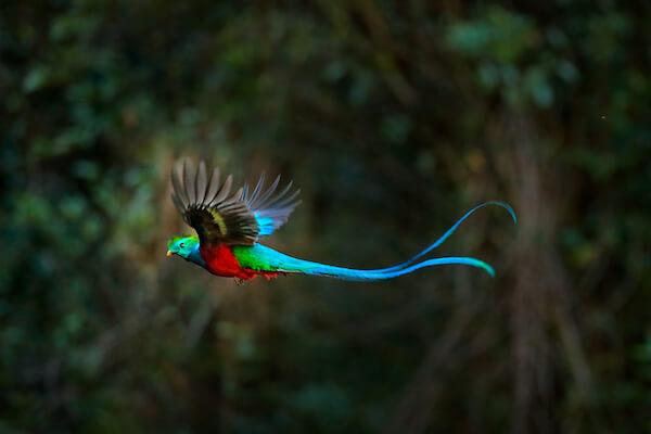 The colourful resplendent quetzal bird in flight - image by shutter stock.com