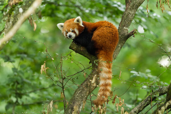 Red panda in Bhutan