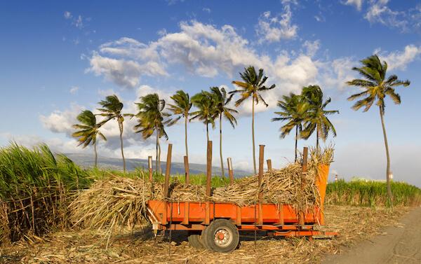 Sugar cane field on Reunion island