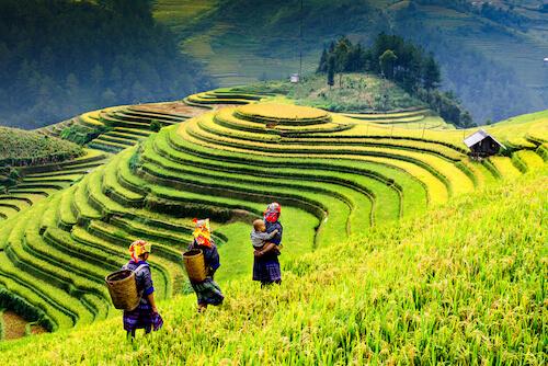 Vietnamese farmers in rice fields