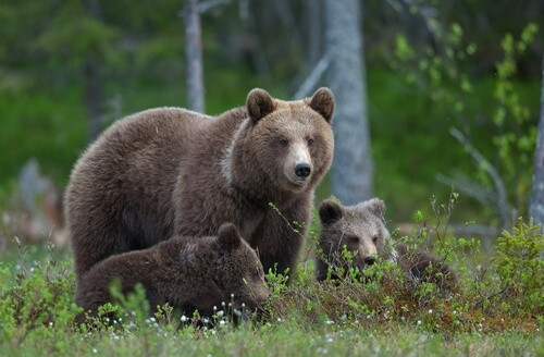 Russia brown bear with cubs - image shutterstock.com