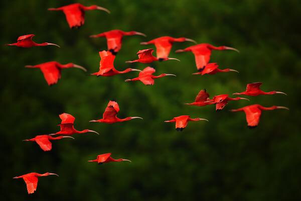 Flock of Scarlet Ibis by Martin Mecnarowski/shutterstock