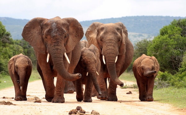 Elephants in South Africa's Addo Elephant National Park