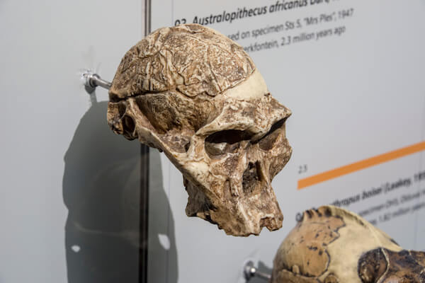 Replica of fossilised skull of Mrs Ples - image by Danny Ye/shutterstock.com
