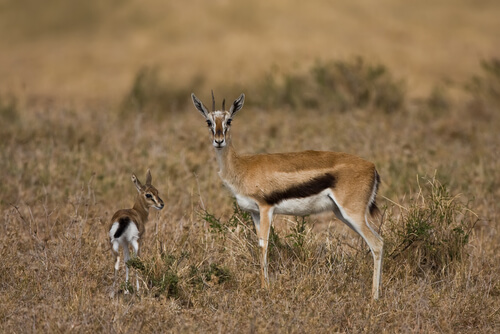 Springbok - the South African national animal