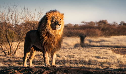 African lion by Andrew Paul Deer