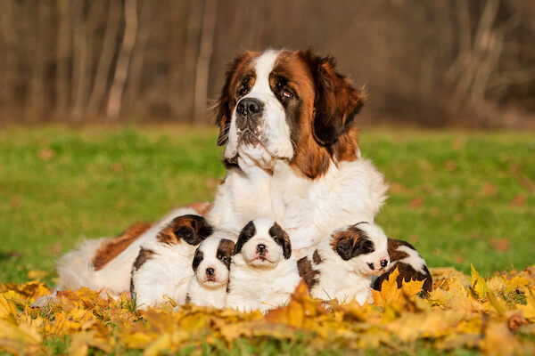 St Bernard Dog and Puppies