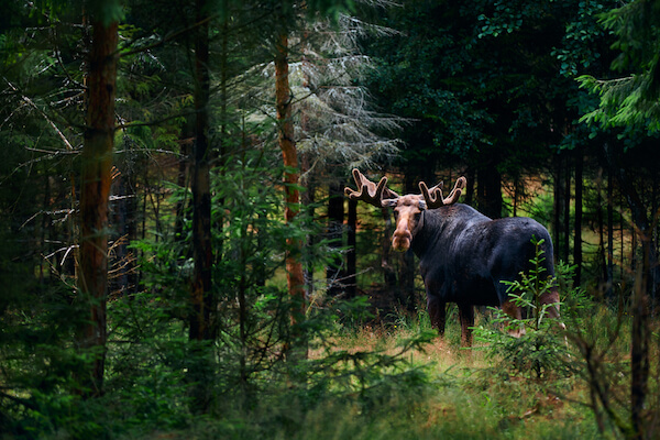 Elk in Swedish forest