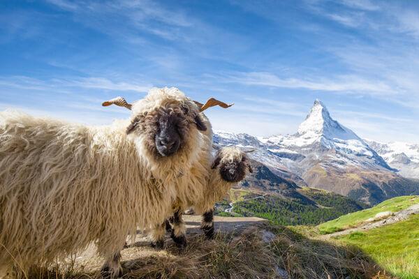 Black nose sheep near Zermatt