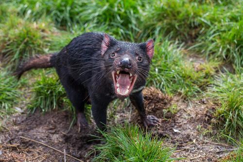 Animals in Australia: Tasmanian Devil