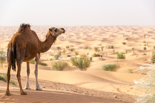 Dromedary in Tunisia