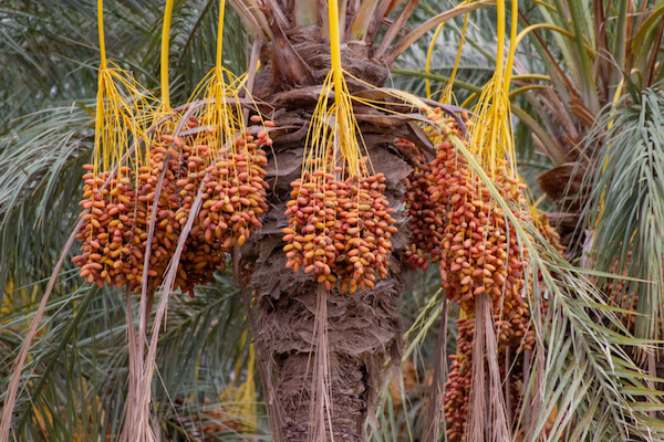 Dates on a tree