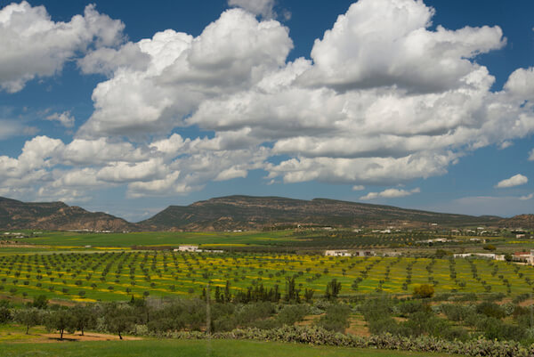 Olive plantations in Tunisia