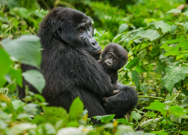 Mountain Gorilla with baby in Uganda forest