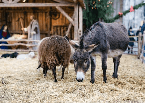 Living nativity scene at Ulm Christmas Market with donkey and sheep