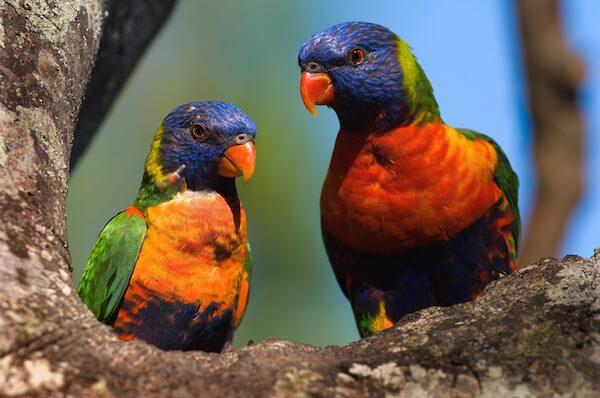 Colourful Rainbow lorikeet