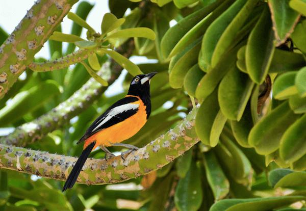 Venzuelan national bird troupial with orange chest in bush