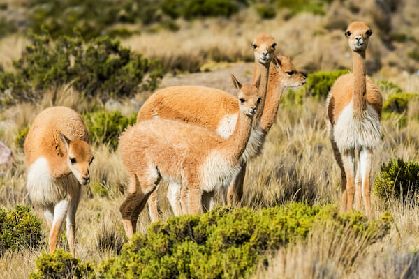 Vicunas in the Andes region near Arequipa