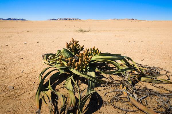 Welwitschia Plant in the Namib Desert