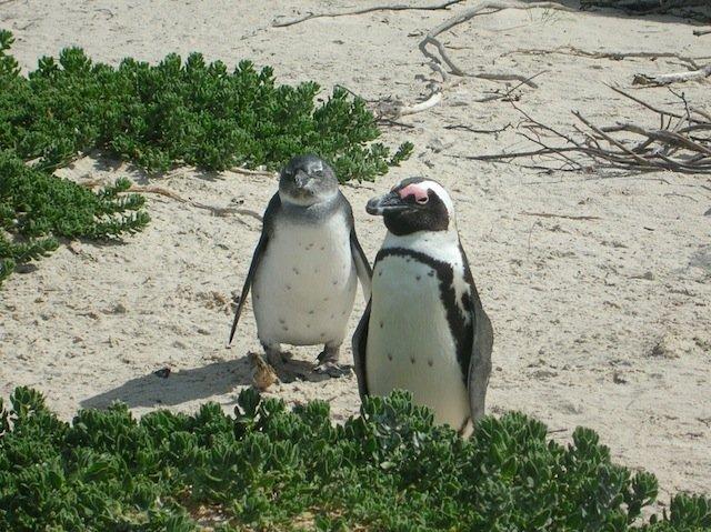 African Penguins Boulders Beach Cape Town