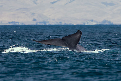 Blue Whale tail - image by 'Mike' Michael L. Baird
