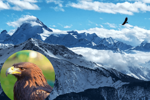 Golden eagle flying over the Swiss mountains