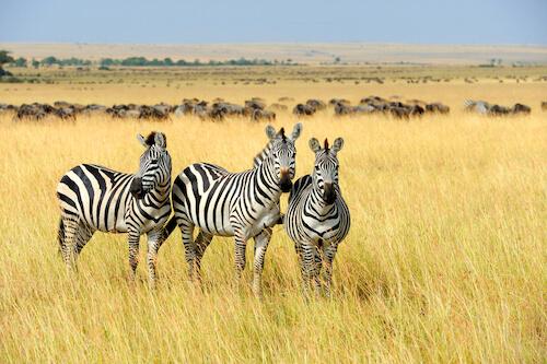 African zebras in Kenya - shutterstock.com