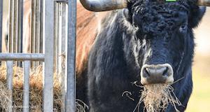 aurochs - image: Uwe Anspach/dpa
