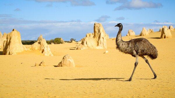 Pinnacles and Emu in Australia