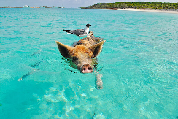 Swimming pig with bird on head in turquoise water in the Bahamas