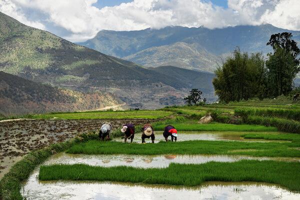 Women working on a rice field in Bhutan - image by Mathias Berlin/shutterstock.com