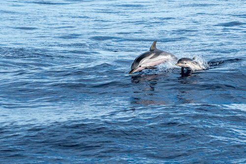 bottlenose dolphin with baby