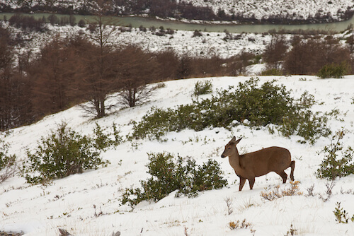 Chilean huemul in snow in the Andes