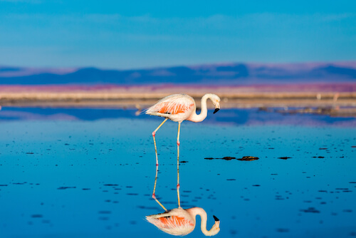 Chilean Flamingo mirror image in salt pan