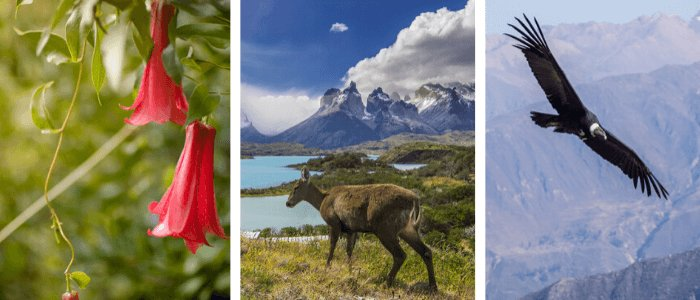 Chile National Symbols: copihue (Chilean bellflower), huemul (deer), condor